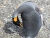 5065 Argentinie-Chili 2014 Ushuaia Estancia Harberton King pinguin