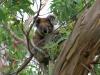 143 Australie Cape Otway koala's