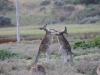 178 Australie Princetown kangoeroes
