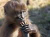 594 Ethiopie Gelada Baboons