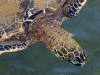 190-hawaii-big-island-schildpad