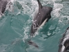 444-nz-kaikoura-dolfijnen