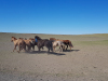 1306-Mongolie-onderweg-Tsagaan-Suvarga-paarden