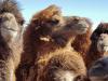 1378-Mongolie-onderweg-Yol-Valley-kamelen